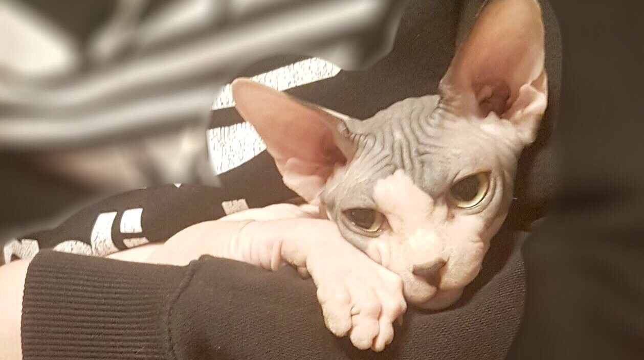 Breeders « The Sphynx Cat Club